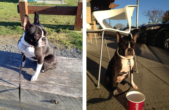 Benny the Boston Terrier hanging on a Marymoor Park bench and enjoying (no, really!) our froyo time.